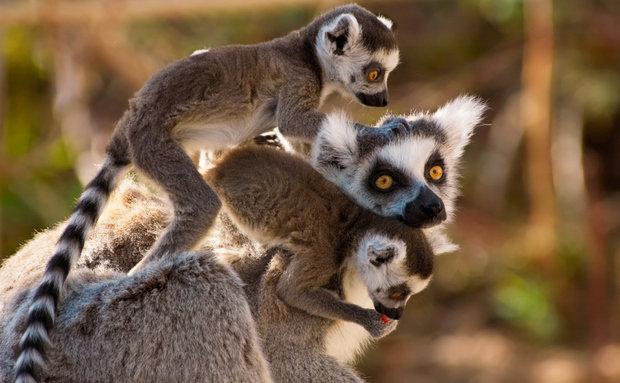 Lêrumes estranho animal de Madagáscar.